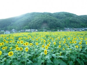 全景ひまわり畑